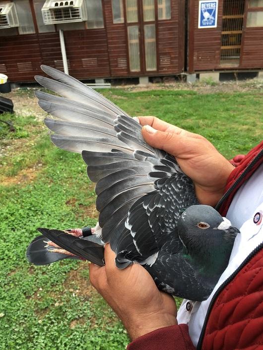 Flügel-2.AS-Vogel